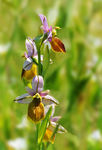 Title: Ophrys lesbis