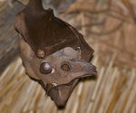 Title: Straw-colored Fruit Bat