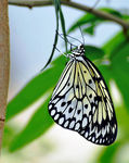 Title: Paper Kite Butterfly