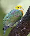 Title: Pink-spotted Fruit Dove