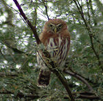 Title: Pacific Pygmy-Owl
