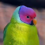 Title: Plum-headed Parakeet
