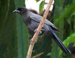 Title: Purplish Jay