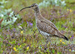 Title: Whimbrel