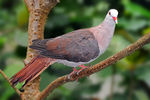 Title: Great Cuckoo-dove