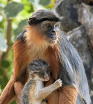 Title: Red Colobus Camera: Nikon D90