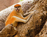 Title: Western Red Colobus