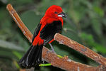 Title: Brazilian Tanager