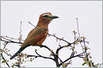 Title: Rufous-crowned Roller