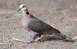 Title: Red-eyed Dove