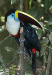 Title: White-throated Toucan