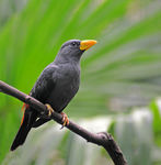 Title: Grosbeak Myna