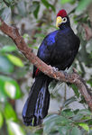 Title: Ross's Turaco