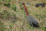 Title: Rufescent Tiger-Heron in front of ...Nikon D70