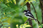 Title: Black-headed Batis