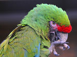 Title: Military Macaw