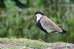 Title: Spur-winged Lapwing