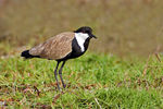Title: Spur-winged Plover
