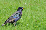 Title: European Starling