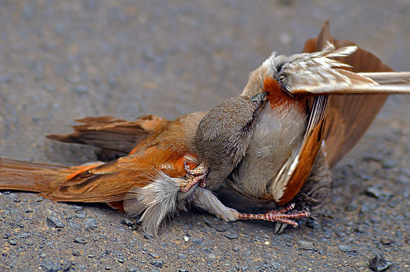 Fighting Sparrows