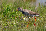Title: Common Redshank