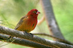 Title: Red-billed Firefinch