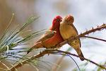 Title: Red-billed Firefinches