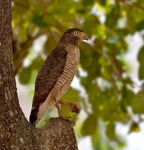 Title: Roadside Hawk