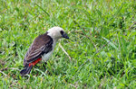 Title: White-headed Buffalo-weaver
