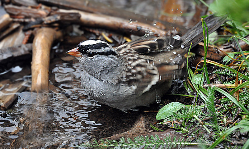 Bathing White-crowned Sparrow