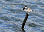 Title: White Wagtail for Anne