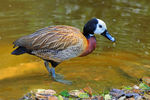 Title: White-faced Whistling DuckNikon D300