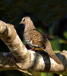 Title: Scaled Dove