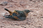 Title: Cliff Flycatcher taking a dust bath