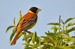Title: Black-headed Bunting
