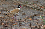 Title: Black-headed Lapwing