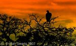 Title: Vulture at Sunset