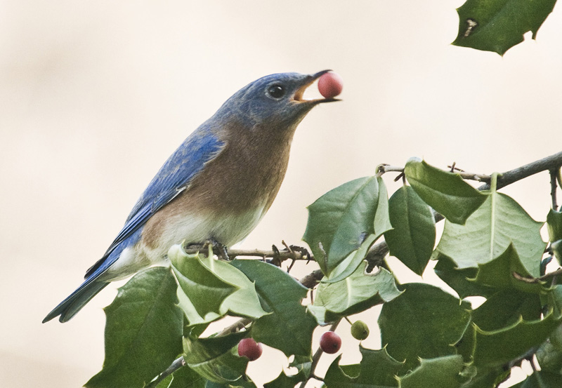 Bluebird and Holly Berry
