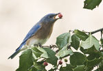 Title: Bluebird and Holly BerryCanon EOS 30d