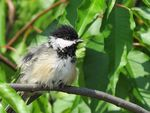 Title: Black Capped Chickadee