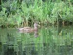 Title: Female Mallard Duck
