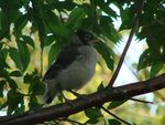 Title: Baby Blue Jay
