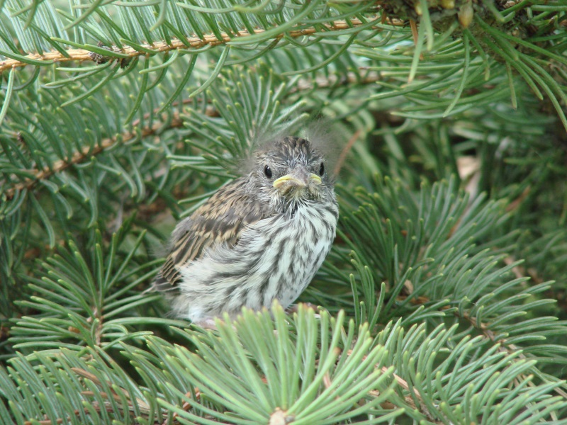 Baby Chipping Sparrow