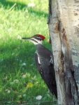 Title: Female Pileated Woodpecker