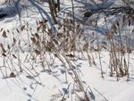 Title: Winter Cattails