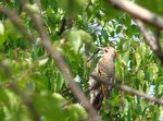 Title: Northern Flicker Woodpecker
