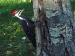 Title: Female Pileated WoodpeckerSony Cybershot DSC-H5