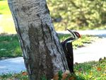 Title: Pileated WoodpeckerSony Cybershot DSC-H5