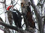 Title: Pileated Woodpecker