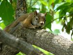 Title: American Red SquirrelSony Cybershot DSC H50